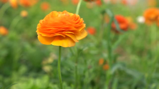 slow moton hd video of ranunculus flowers in wind - ranunculus stock videos & royalty-free footage