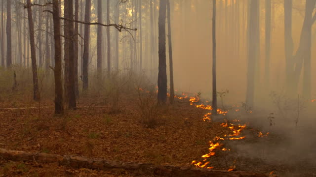 slow moving flames on forest floor with wind reversing direction - pinaceae stock videos & royalty-free footage