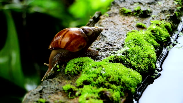 slow moving huge snail helix pomatia macro shot - wet stock videos and b-roll footage