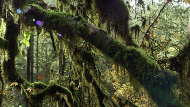 Slow moving shot through a dense and mossy forest