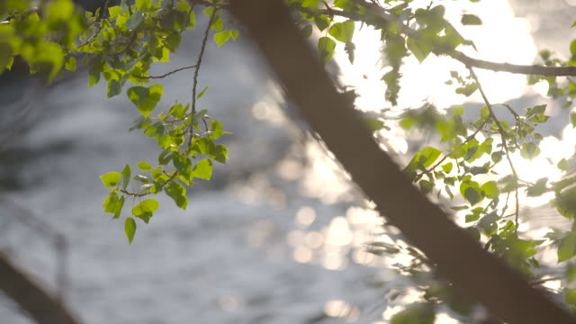 Slow out of focus pan left of the sun shimmering on the Seine River with a tree in the foreground in Paris, France