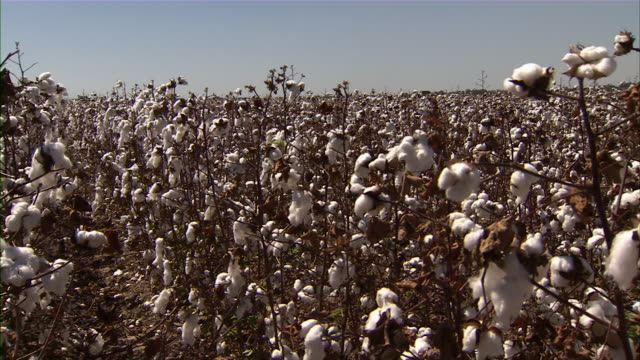 stockvideo's en b-roll-footage met slow pan across cotton field. - katoen