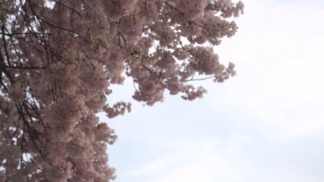 dc の桜のパンが遅く - 政治行動委員会点の映像素材/bロール
