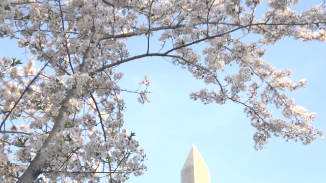 slow pan down to washington monument with blossoms - dulles international airport stock videos and b-roll footage
