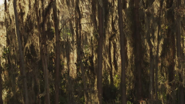 slow pan featuring a dense grove of cypress trees and spanish moss in a swampy wetland. - spanish moss stock videos & royalty-free footage