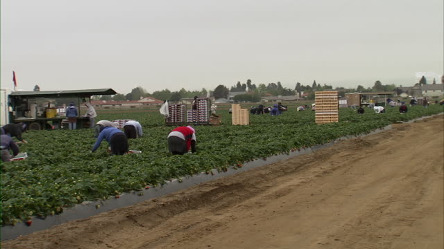 Slow pan of farmers harvesting strawberries.