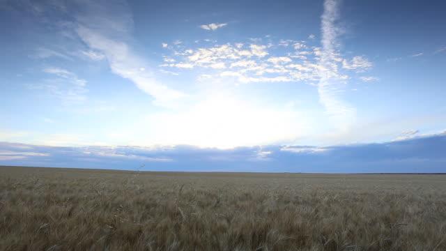 slow pan of grain field - horizon stock videos & royalty-free footage
