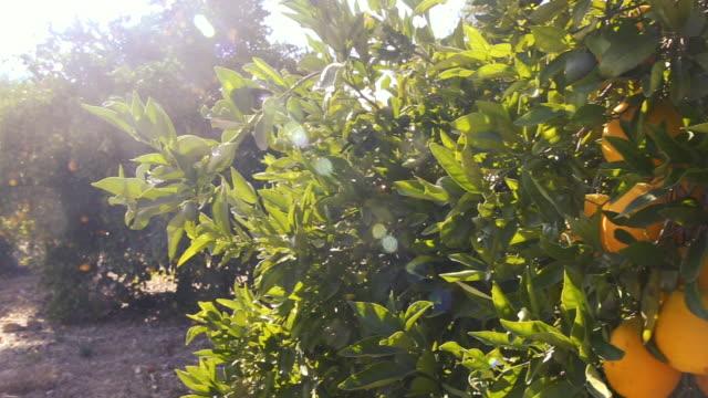 slow pan of orange trees in ojai orchard - orange colour video stock e b–roll