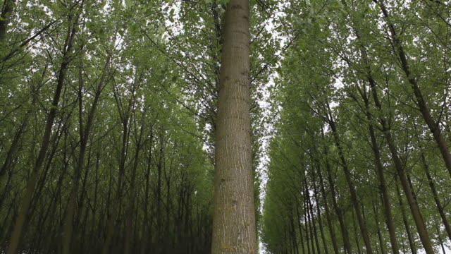 slow pan of trees in planted forest, springtime - pflanzen stock-videos und b-roll-filmmaterial