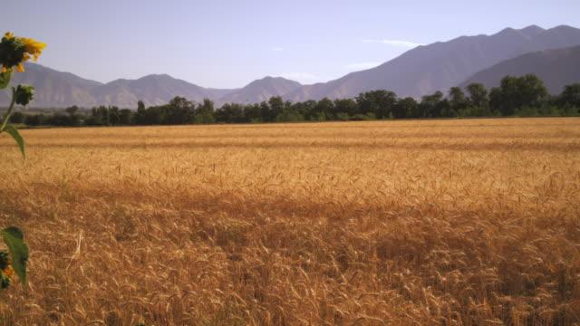 slow panning shot of wheat field with mountains. - プロボ点の映像素材/bロール