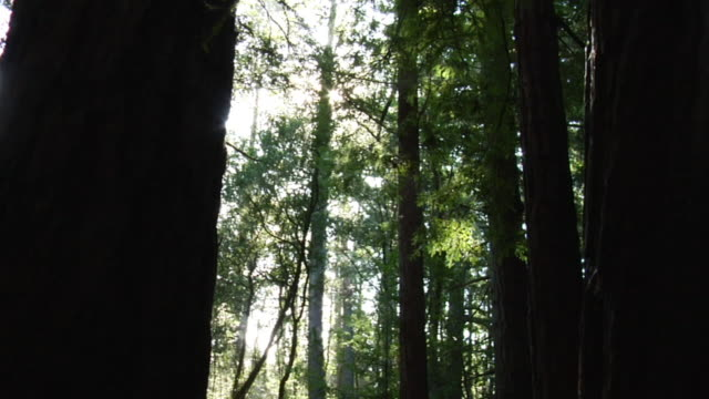 TU Slow tilting view up trunks of tall tress in redwood forest / Richmond, California, USA