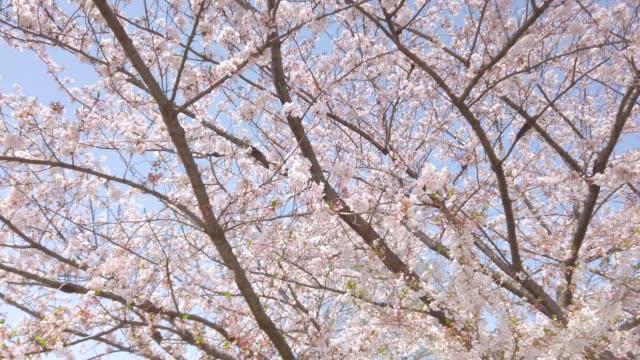 4k slow tracking schuss. kirschblütenbaum mit blauem himmel - kamerafahrt mit dolly stock-videos und b-roll-filmmaterial