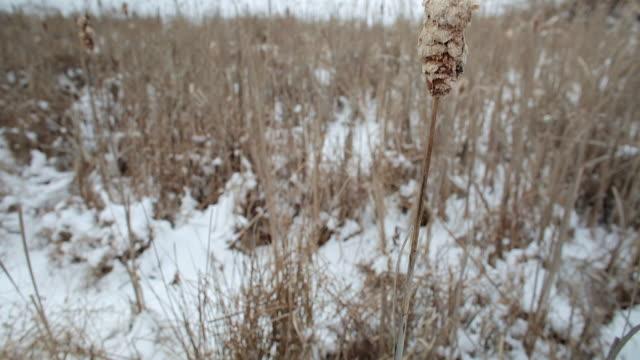 vidéos et rushes de slow upward pan of a cat tail moving in wind, shallow focus, winter landscape background - comté d'ulster