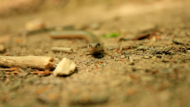 Slow worm,Anguis fragilis