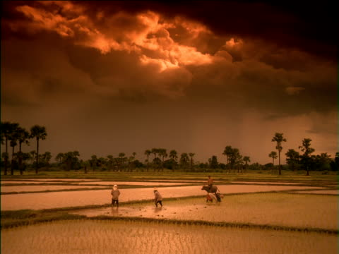 Slow zoom in on farmer riding cow and labourers working in flooded rice paddy field, China