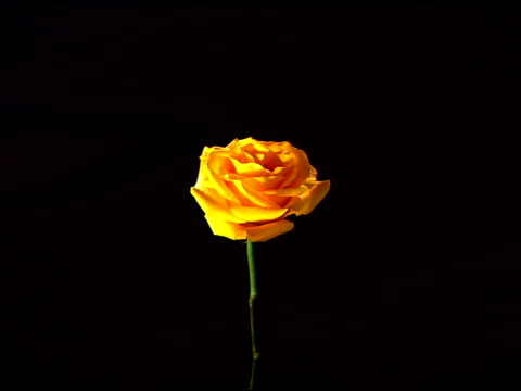 slow zoom in to a close-up of a single yellow rose against a black background. - single object stock videos & royalty-free footage