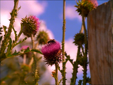 vidéos et rushes de slow zoom in to close up of bee on pink flower - étamine