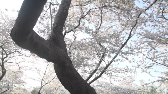 langsam rotierende unter hellen blüten des baumes in d.c. - klammer stock-videos und b-roll-filmmaterial