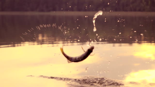 slow-mo: jumping fish - lake stock videos & royalty-free footage