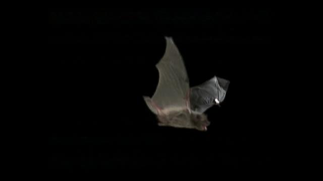 slowmotion a flying bat shot by highspeed camera - pipistrello video stock e b–roll