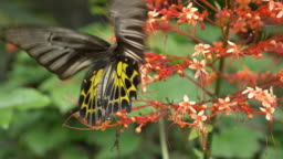 slow-motion, butterfly flying