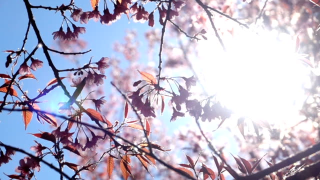 slow-motion, cherry blossom flowers and sun