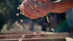 Slow-Motion Close up hand check coffee seed on day light field. Hands Sifting Drying Coffee Beans by Coffee Farmer