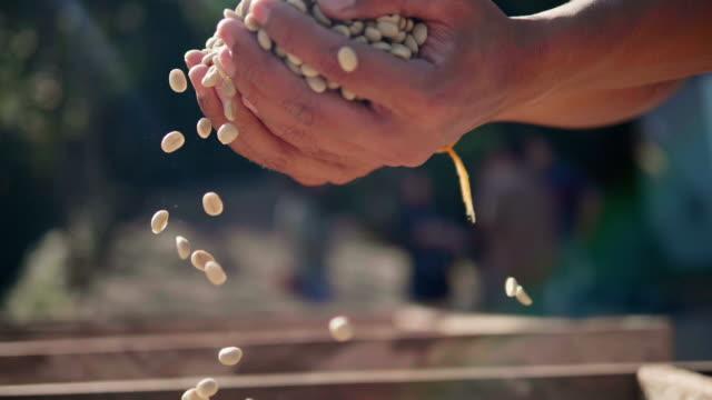 vídeos de stock, filmes e b-roll de lenta close-up mão verificar sementes de café no dia de campo de luz. mãos de peneiração de secagem de grãos de café de café farmer - orgânico
