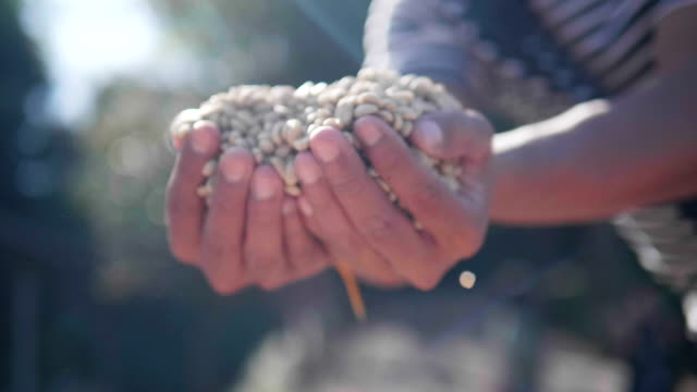 vídeos de stock e filmes b-roll de slow-motion close up hand check coffee seed on day light field. hands sifting drying coffee beans by coffee farmer - bar