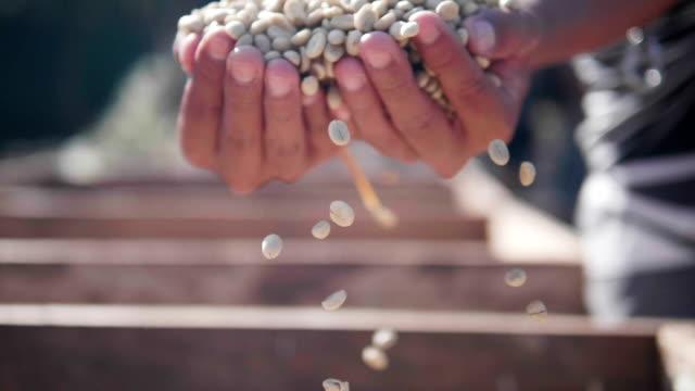 Slow-Motion hautnah Hand überprüfen Kaffee Samen auf Tag Lichtfeld. Hände, die Sichtung Trocknung Kaffeebohnen Kaffee Bauer