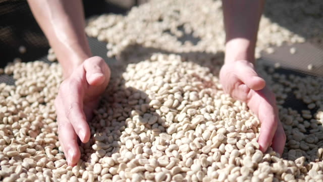 slow-motion close up hand check coffee seed on day light field. hands sifting drying coffee beans by coffee farmer - green bean stock videos & royalty-free footage