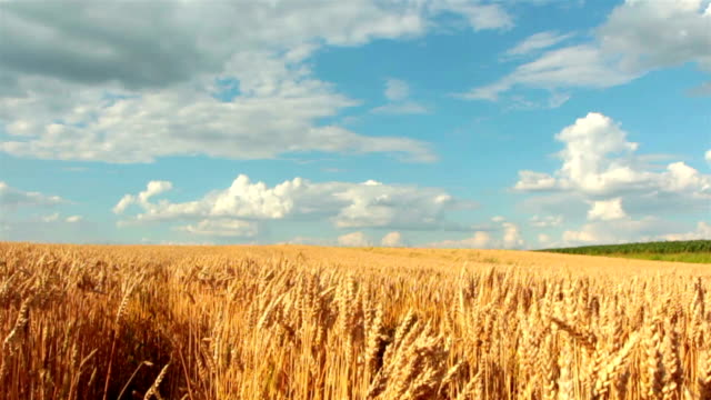 slow-motion: crane shot of blue sky, clouds and wheat field - wheat stock videos & royalty-free footage