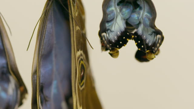 Slow-motion footage of Morpho peleides butterflies emerge from their chrysalis at the Sensational Butterflies exhibit