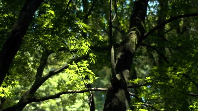 slow-motion; maple leaves swaying, gifu, japan - swaying stock videos & royalty-free footage