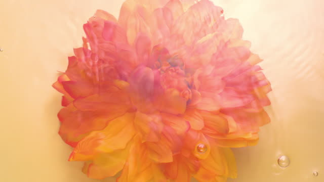 slowmotion movement of wave and ripples on water surface with a submerged and fluttered dahlia head on golden background - orange stock videos & royalty-free footage