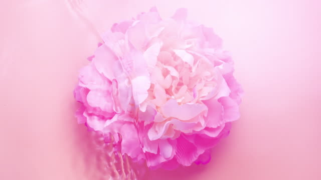 vídeos de stock, filmes e b-roll de slowmotion movement of wave and ripples on water surface with a submerged and fluttered peony head on pink background - feminidade