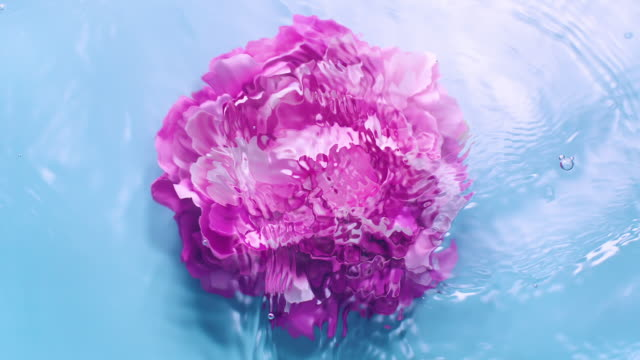 slowmotion movement of wave and ripples on water surface with a submerged rotating peony head on blue background - weiblichkeit stock-videos und b-roll-filmmaterial