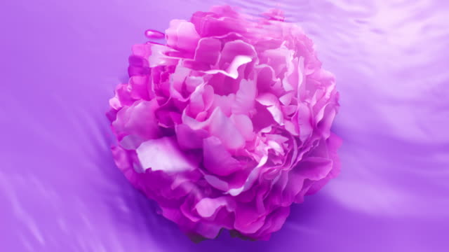 slowmotion movement of wave and ripples on water surface with a submerged rotating peony head on purple background - parfum stock-videos und b-roll-filmmaterial