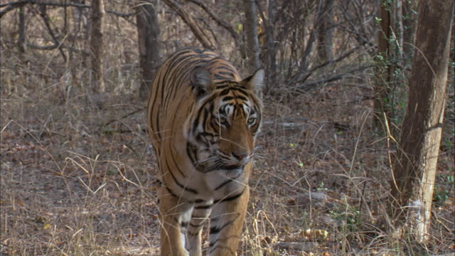 slow-motion of female tiger walking through dry grass bushes towards the camera - wide shot/ front view - alertness stock videos & royalty-free footage