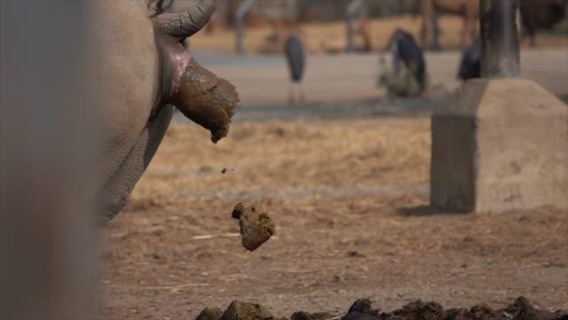 slow-motion of rhino defecate - rhinoceros stock videos & royalty-free footage