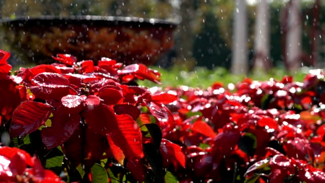 slow-motion, poinsettia flower and water spray from sprinkler
