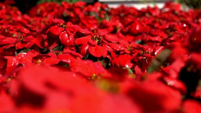 vidéos et rushes de ralenti, poinsettia de fleurs et d'eau de gicleur - parterre de fleurs