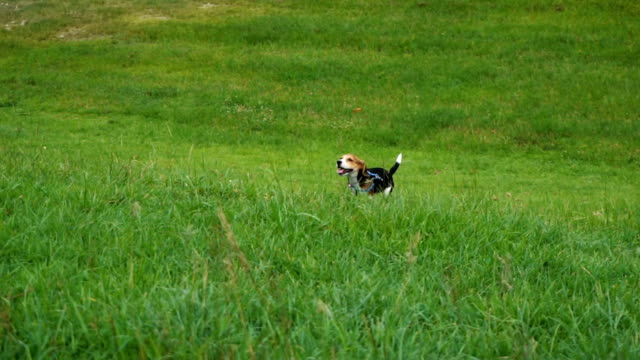 HD slowmotion Puppies running in a meadow