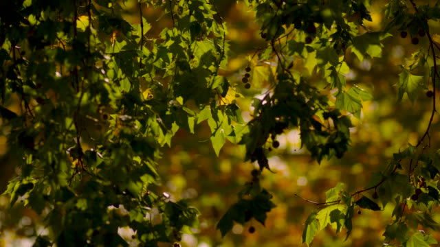slow-motion shot of autumnal leaves and seed balls on a london plane tree, uk. - zona arborea video stock e b–roll