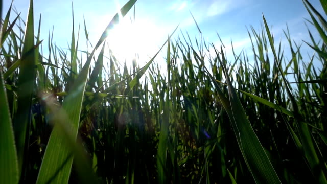 slowmotion wheatgrass growing in the field and bug - tracking shot stock videos & royalty-free footage