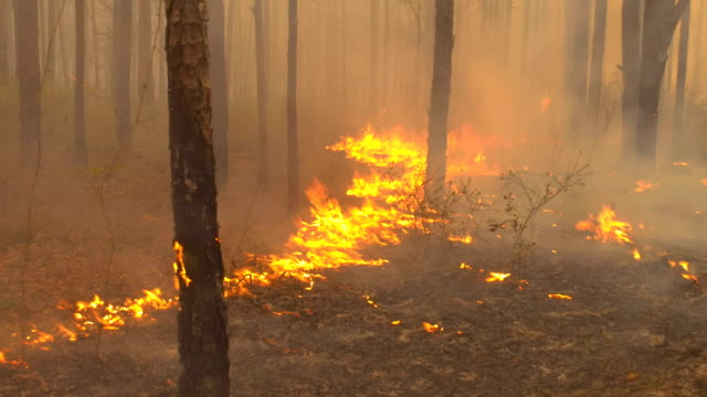 Slow-moving flames in pine forest leaf liter
