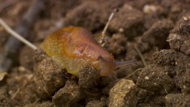 slug crawls over farm soil in field, uk - mollusc stock videos & royalty-free footage