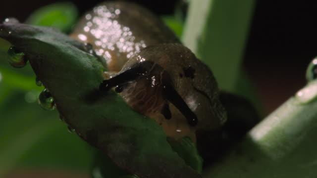 slug eats plant leaf, uk - mollusc stock videos & royalty-free footage