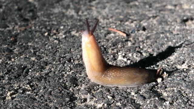 vídeos y material grabado en eventos de stock de slug mollusk dancing on pavement in new hampshire usa - molusco
