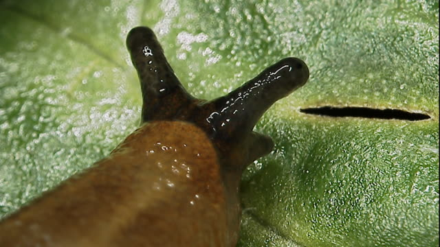 slug (pulmonata) slithers on leaf, england - animal eye stock videos & royalty-free footage